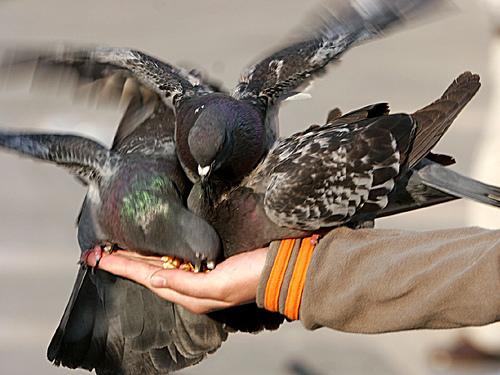 Porumbeii din San Marco